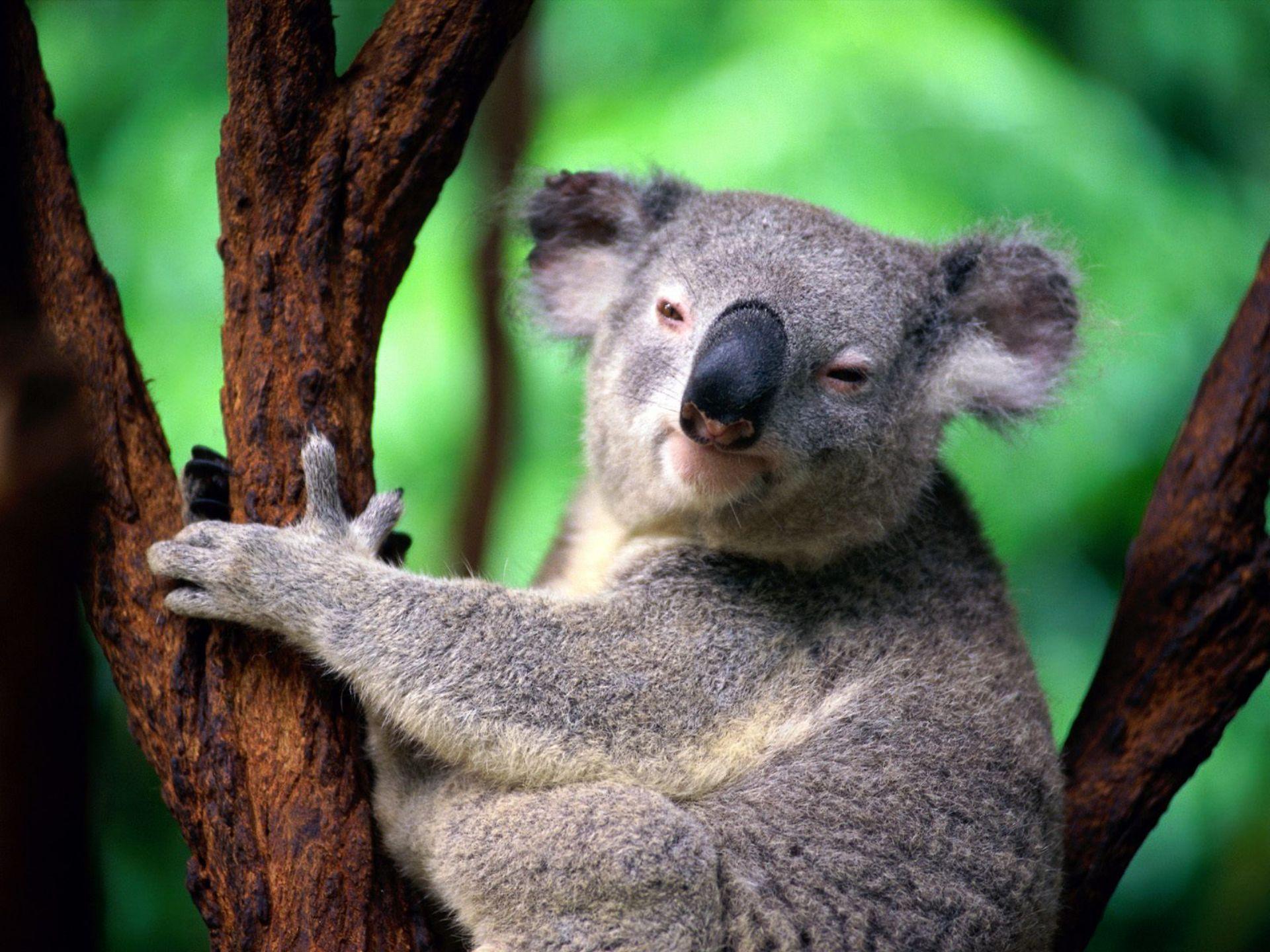 Полицейские арестовали коалу за нарушение ПДД