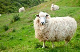 Разведение овец: прибыльно и перспективно